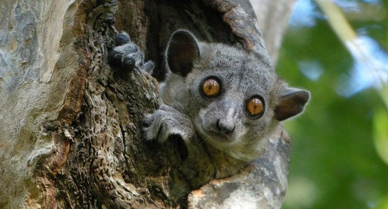 northern-sportive-lemur-natural-enemies