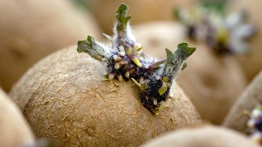Is It OK to Eat Potatoes If They Have Sprouted?