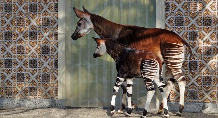 okapi-endangered