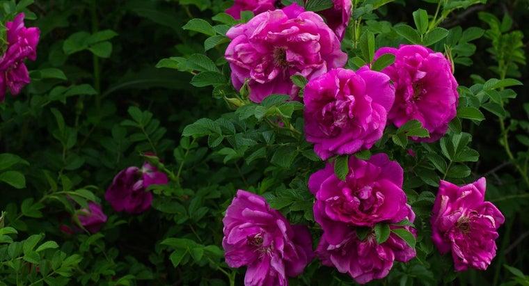 one-transplant-wild-rose-bushes