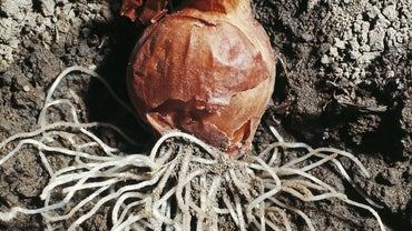 What Makes Onion Roots Ideal for Studying Mitosis?