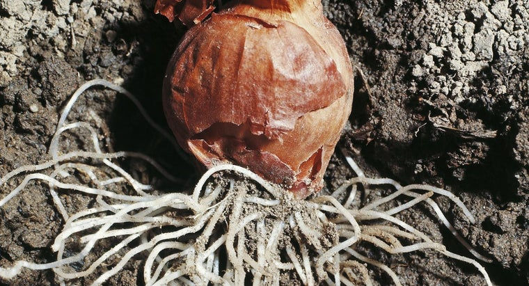 onion-roots-ideal-studying-mitosis