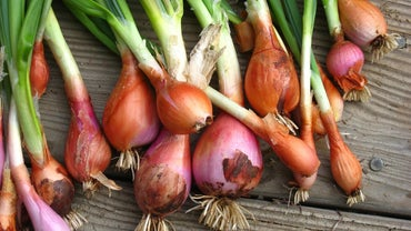 Do Onions Grow Underground?