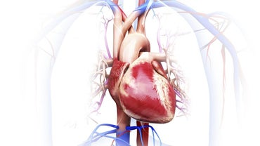What Are the Organs in the Circulatory System?