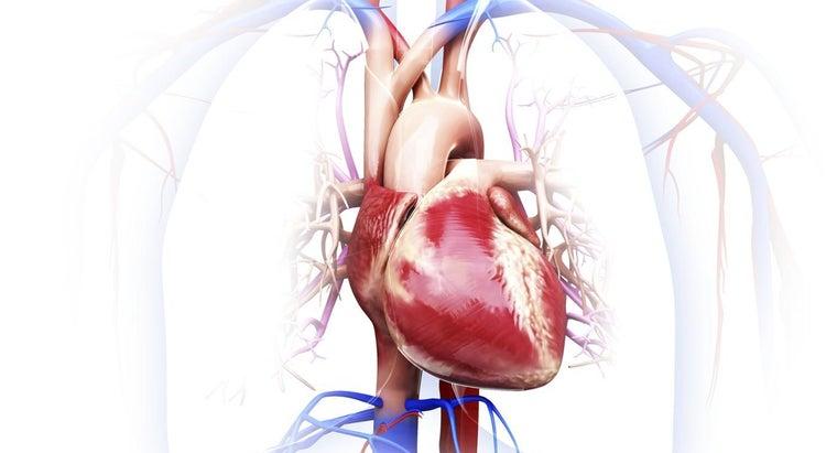 organs-circulatory-system