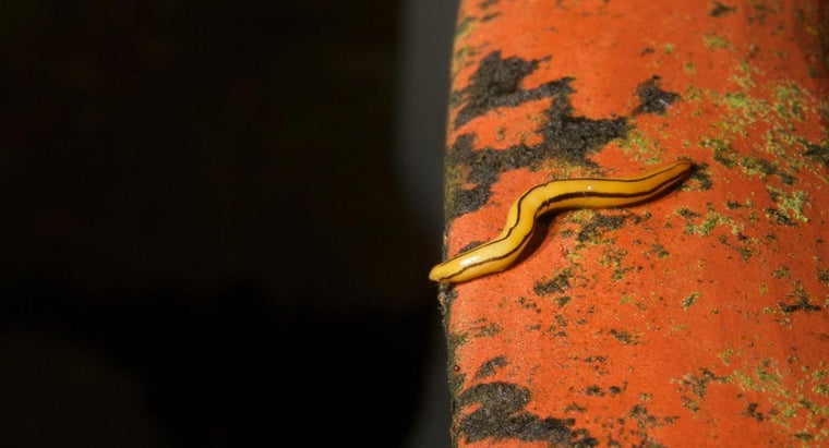 organs-excretion-flatworms