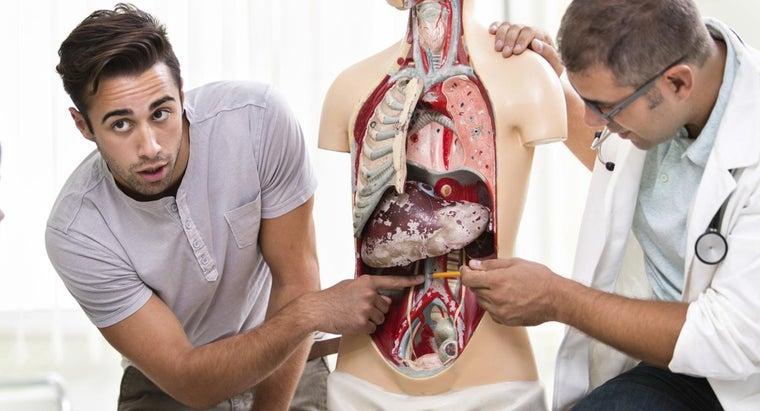 organs-near-spleen-human
