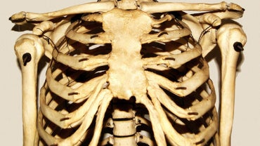 Which Organs Are Protected by the Rib Cage?