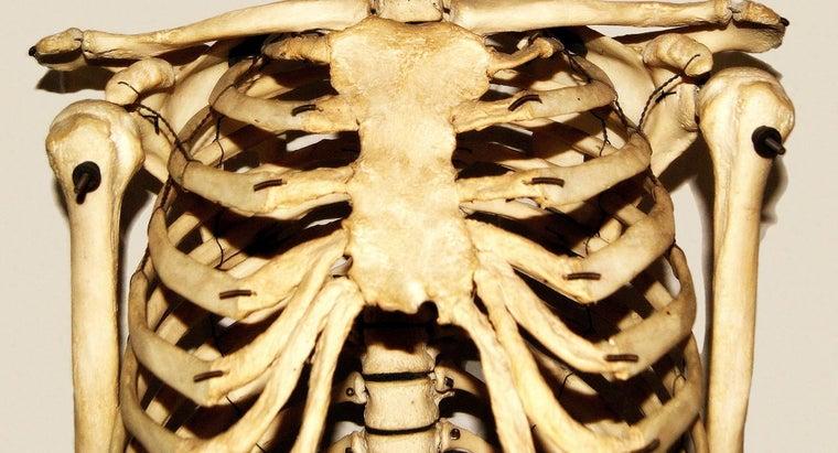 organs-protected-rib-cage