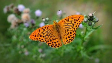 What Was the Original Name for the Butterfly?