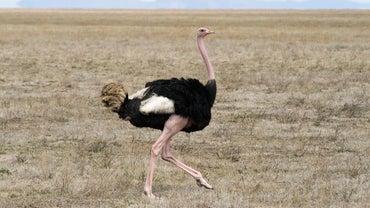 Where Do Ostriches Live?