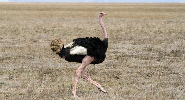 ostriches-live