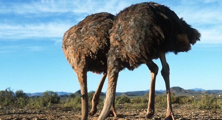 ostriches-stick-heads-sand