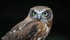 Why Do Owls Hoot at Night?