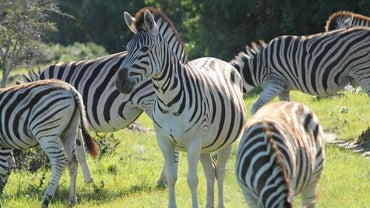 What Is a Pack of Zebras Called?