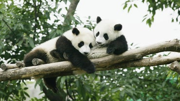 Where Are Remaining Panda Habitats?