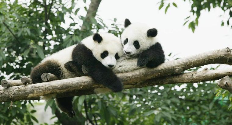 pandas-live-wild