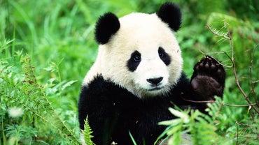 Panda Habitats in the Wild