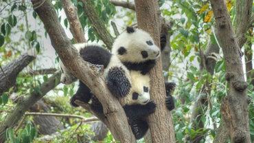 How Do Pandas Reproduce?