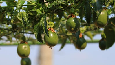 When Is Passion Fruit Ripe?