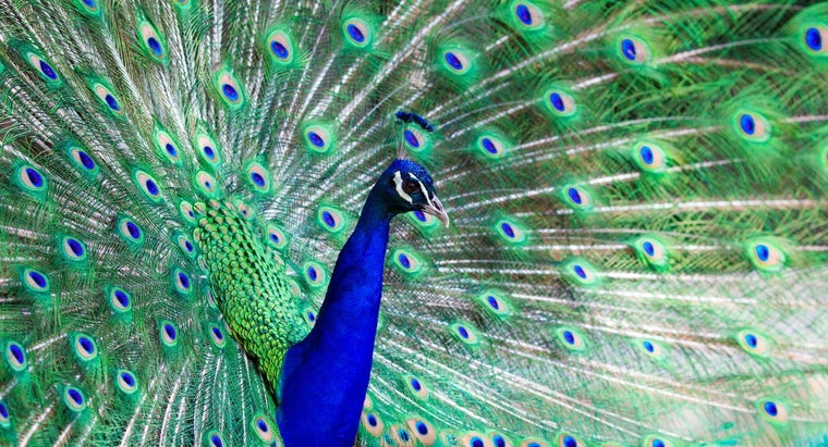peacock-adaptations