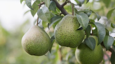 When Does a Pear Tree Fruit?