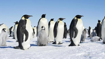 How Do Penguins Care for Their Young?