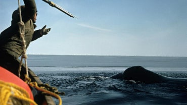 Why Do People Hunt Whales?