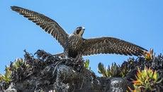 Where Do Peregrine Falcons Live?