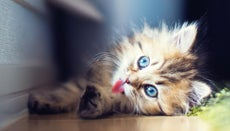 What Do Persian Cats Eat?