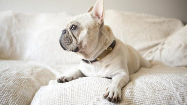 What Is a Pied French Bulldog?