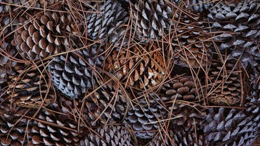 When Do Pine Trees Drop Pine Cones?