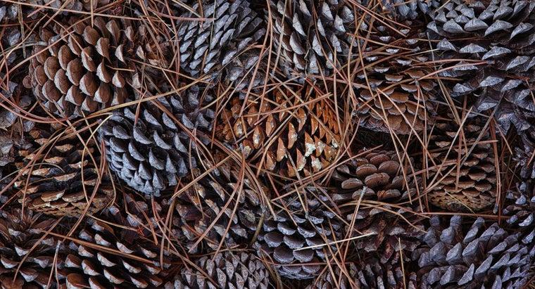 pine-trees-drop-pine-cones