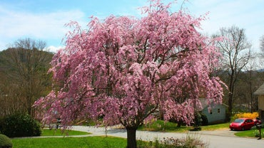 What Is a Pink Weeping Cherry Tree?