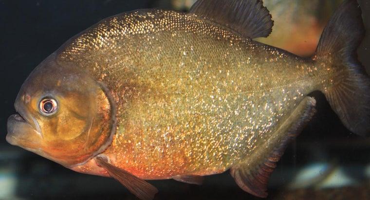 piranhas-eat