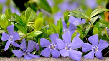 How Do I Plant Creeping Myrtle or Vinca Minor?