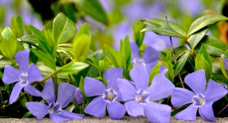 plant-creeping-myrtle-vinca-minor
