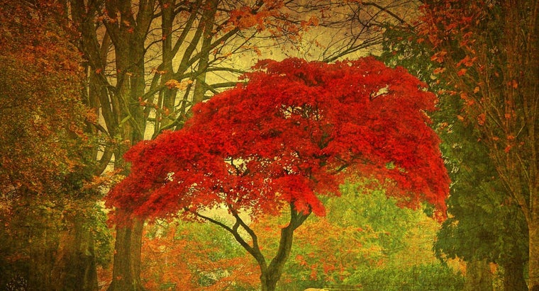 plant-red-maple-tree
