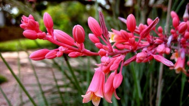 How Do You Plant a Red Yucca?