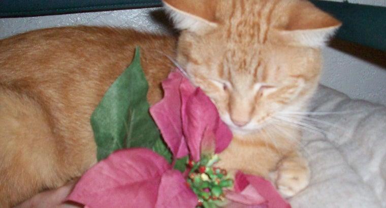 poinsettia-plants-poisonous-cats