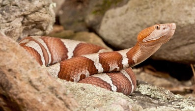 What Are Poisonous Snakes in Missouri?
