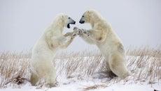 What Is a Polar Bear's Defense?