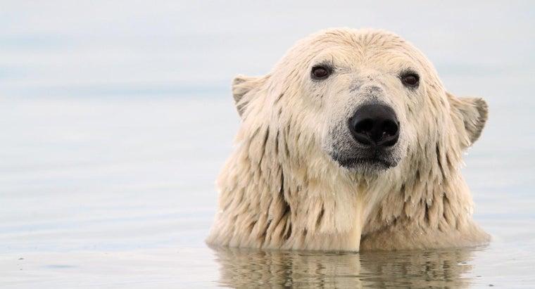 polar-bears-adapt-survive