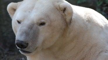 Where Do Polar Bears Find Their Food?