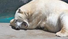 Why Do Polar Bears Have Large Paws?