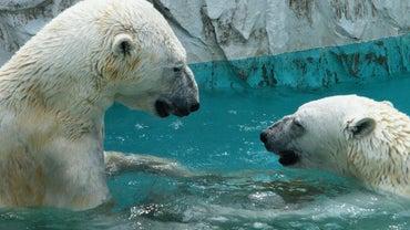 Do Polar Bears Live in the North Pole?