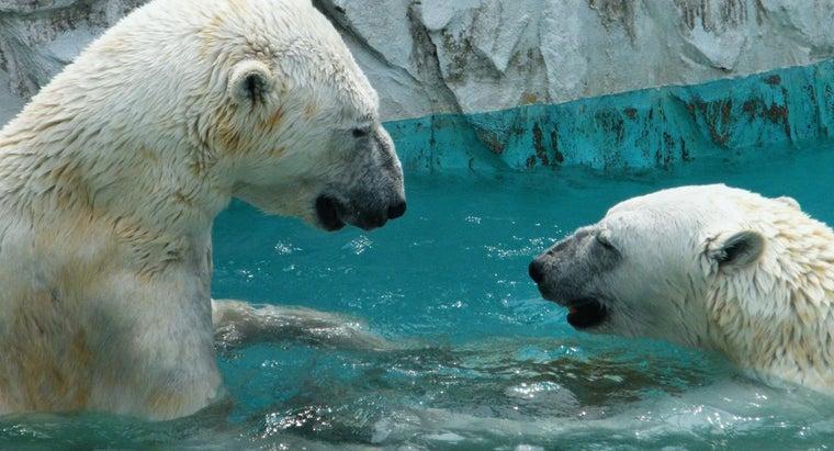 polar-bears-live-north-pole