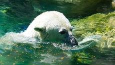 Do Polar Bears Live at the South Pole?