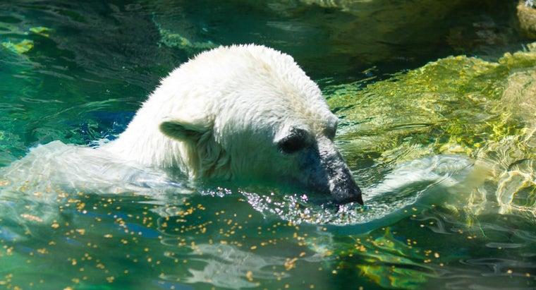polar-bears-live-south-pole