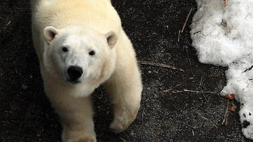 How Do Polar Bears Protect Themselves?